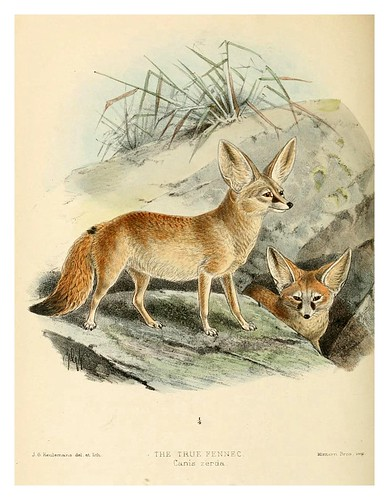 004-El Fenec-Dogs jackals wolves and foxes…1890- J.G. Kulemans