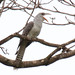 Channel-billed Cuckoo - Photo (c) Marcel Holyoak, some rights reserved (CC BY-NC-ND)