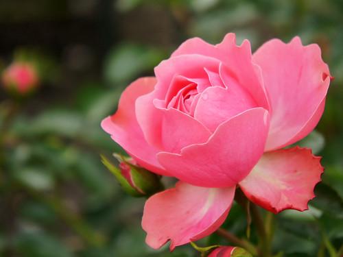 Rose Hida バラ ローズ・飛騨