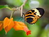 Heliconious (Tcottrell) Tags: macro butterfly nikon d7000 beautifulmonsters