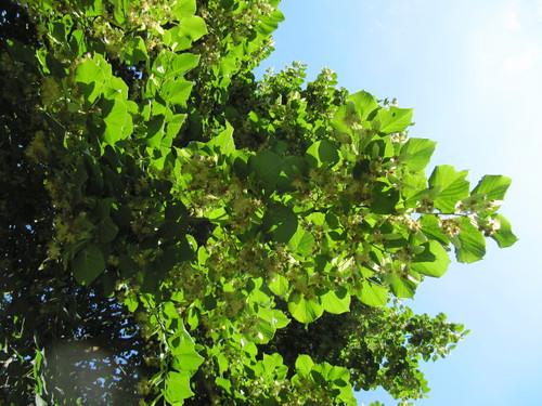 trees england tree westsussex lime limetree tilia slindon slindonwoods june2011 slindonestate