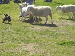 sheepherding_schnauzer2