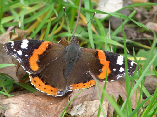 Red Admiral in Russia Dock Woodland