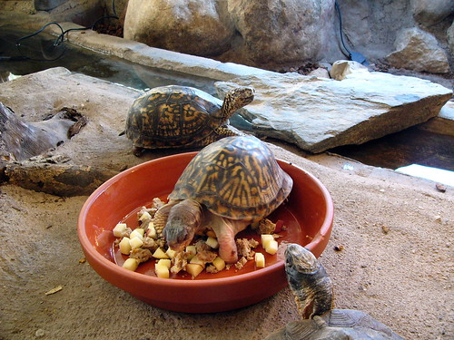 A rescued Box Turtle