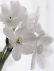 Spring is on its way (Ben124.) Tags: flowers light white spring narcissus blueribbonwinner megashot theperfectphotographer