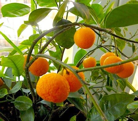mini-oranges
