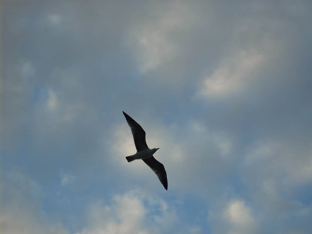 Gaviota flying in the sky
