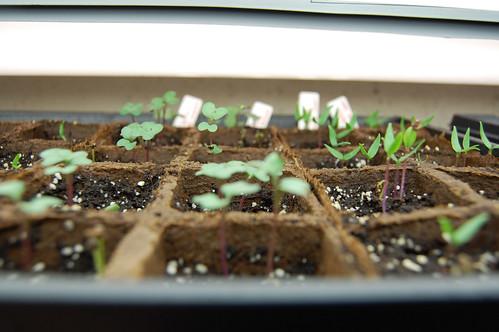 Broccoli Seedlings 032808