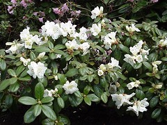 lucylou_plant (lwampach) Tags: garden nursery rhododendron rhodies laketappsrhododendron