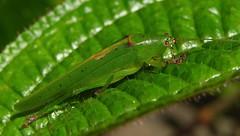 Small katydid, Isc
