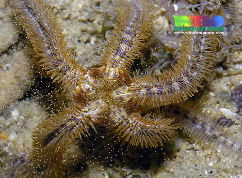Blue lined brittle star (Ophiothrix lineocaerulea)