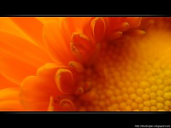 Atrado como un insecto... (DrGEN) Tags: santa orange naturaleza santafe flower macro nature argentina yellow insect tour dof flor rosario polen fe naranja amarilla ceres insecto ptalos anaranjada rosarigasinos wpblog baigorria aplusphoto colourartaward drgen