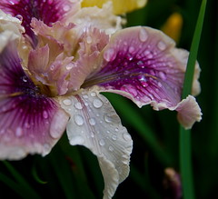 Purple Wet Series 4 (Orbmiser) Tags: nature oregon portland nikon lightroom d40 tamron1750f28 unature tamronspaf1750mmf28xrdiiildsp