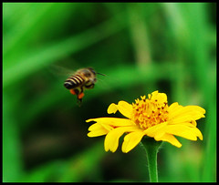 Bee and the Flower (Midhun Manmadhan) Tags: flower love ecology yellow dof zoom bokeh kerala bee reproduction trivandrum khalilgibran pollination aperturepriority 12x ponmudi flowersandinsects canonpowershots3is avmode