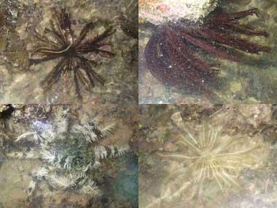 Crinoids- Class Crinoidea