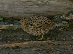 Brown Quail (Coturnix ypsilophora) (David Cook Wildlife Photography) Tags: birds australia act australianbirds boodereenationalpark brownquail coturnixypsilophora kookr synoicusypsilophorus