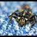 Sevenspotted Lady Beetle Larva Macro