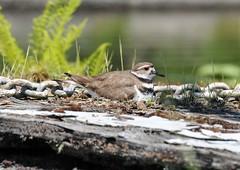 Watchful (lilac_breasted_roller) Tags: summer lake bird killdeer naturesfinest exploreheaven