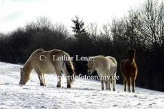lz260105x(21) (Lothar Lenz) Tags: schnee winter horse caballo cheval cavalo pferd hest equus paard hst fohlen hestur islnder konj hobu zirgs fjordpferd lotharlenz