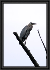 Great Blue Heron (framed) (MCV Photo & Video) Tags: blue bird canon newjersey sitting wildlife nj frame birdwatching greatblueheron wharton birdwatcher naturelovers morriscanal worldnature 40d secretlifeofbirds birdsinsideandoutside wildlifecloseup tameron200500