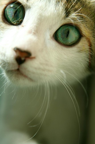 pet color cat eyes lovely catpower