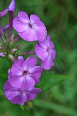 Summer Flower 2 - Christopher D. LeClaire photo, 2008 (Christopher D. LeClaire Photography) Tags: purpleflower greenleafs christopherleclairephotography