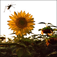 Airport (Katarina 2353) Tags: pictures flowers light sunset summer green film nature yellow photography gold flyer nikon flickr image photos serbia joy flight sunflower grasshopper srbija katarinastefanovic katarina2353