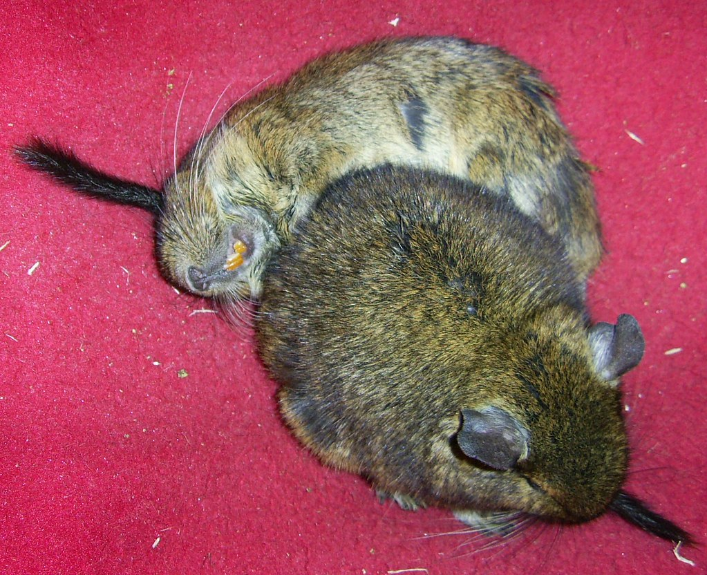 hammock buddies  vegan butterfly  tags  silly cute animal fur rodent funny sleep teeth the world u0027s best photos of  panion and degu   flickr hive mind  rh   hiveminer