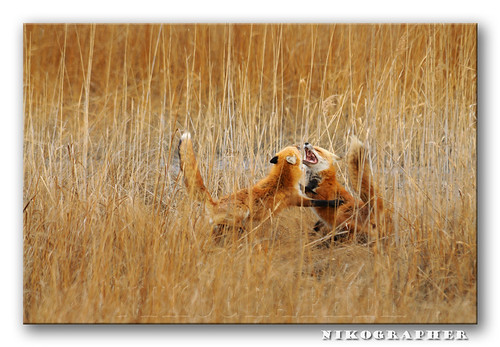 Red Fox Mates @ BBH NWR DE