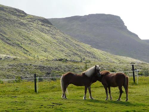 el cavall d'Islàndia