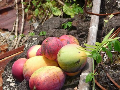 ハワイ島にてマンゴの収穫