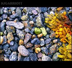 Candied Beach (KSGarriott) Tags: ocean seaweed macro beach colors rock canon marine rocks colorful raw colours candy rocky pebbles shore colourful lofoten vegitation hdr hdri tonemap artizen canonpowershots3is ksgarriott scottgarriott