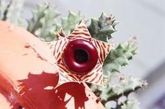 Huernia zebrina (alkdjfsa) Tags: flower succulent stapelia huernia zebrina asclepiad huerniazebrina stapeliad succulentasclepiad