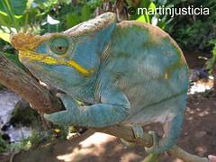 Calumma parsonii. PN de Ranomafana (Martn Justicia) Tags: canon chameleon madagascar ranomafana