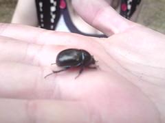 Dung Beetle (jamestrever) Tags: clumberpark k850i