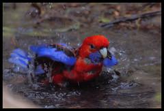 Crimson Rosella, ANBG, 17.9.08 (Tobias Hayashi Photography) Tags: water birds shower bath parrot australia canberra bathing rosella botanicgardens crimsonrosella platycercuselegans anbg specanimal animalkingdomelite avianexcellence sectretive