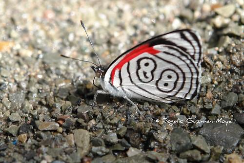 La Mariposa 88 - Diaethria Clymena Butterfly