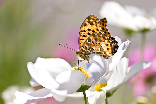 Butterfly & cosmos