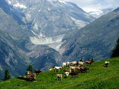 Hike from Ernen to Alpe Frid (1973m) and back again (onno de wit) Tags: schweiz switzerland cows suisse svizzera montagna wallis valais zwitserland ernen fieschergletscher svizerra arnerwald