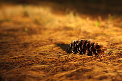 (chrias.) Tags: sunset shadow pine alone bokeh pinecone n