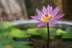 Water lily  (Flower) (air maxx) Tags: china desktop pink wallpaper hk flower nature water grass animals japan lily farm hong kong fans aplusphoto