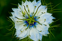 Martian? (NatureWalk) Tags: blue white flower macro green alien bloom martian nigella loveinamist bachelorbutton masterphotos