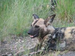 Wild Dog (John D McKenna) Tags: elephant bird southafrica crane lion rhino giraffe wildebeest kruger sodwana barbet kurisamoya