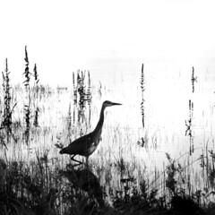 Heron on Lake Carrowmore [1] (Dave Road Records) Tags: ireland blackandwhite landscape infrared mayo countymayo broadhaven lakecarrowmore