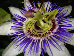 (scatz) Tags: garden passiflora passionflower scatz