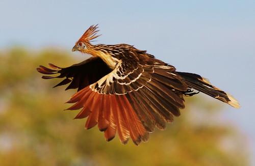 Lhoatzin (Opisthocomus hoazin Muller, 1776) è una specie di uccello tropicale diffuso in unarea geografica che copre i bacini del Rio delle Amazzoni e del fiume Orinoco nel Sud America. Fonte wikipedia