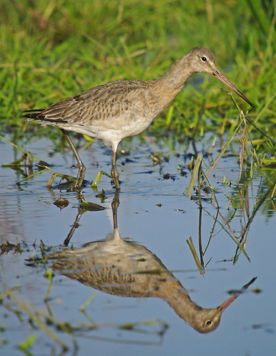 Black - tailed Godwit