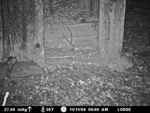 outhouse woodrat