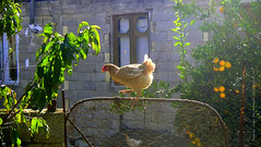 Lady Hen in action (~ naim) Tags: november light orange home animal action domestic mazandaran hen soe mywinners abigfave theunforgettablepictures theunforgettablepicture goldstaraward shirdar