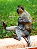 Monkey and baby (@Doug88888) Tags: pictures africa travel wild baby holiday cute grass canon tanzania eos monkey hotel eyes funny toes image dr tail leg creative yawn picture commons images stretch safari mum buy ape purchase vervet hilltop livingstone kigoma eastafrica monther 400d seventeen7photo